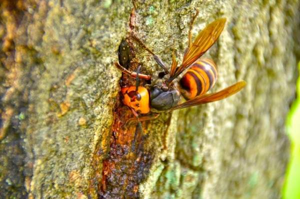 毒虫 スズメバチ